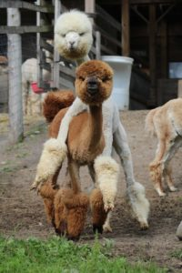 alpacas playing brown white