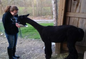 alpaca black girl