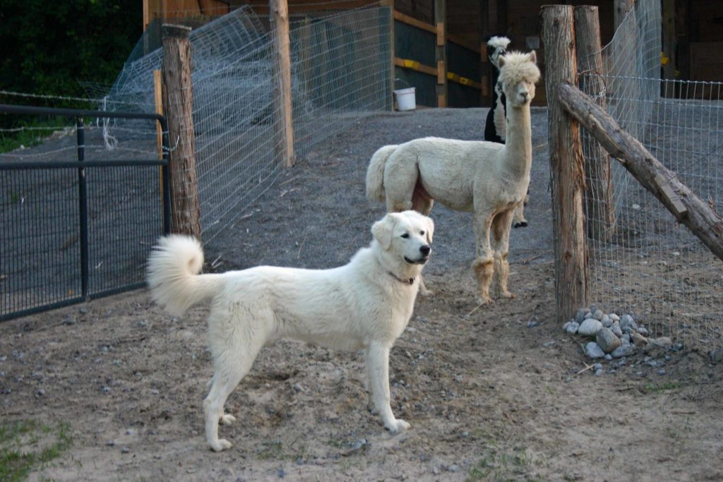 An Akbash livestock guardian dog standing with a herd of alpacas.