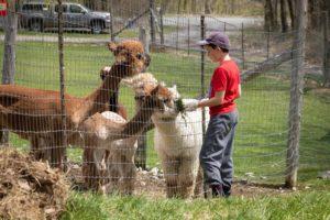 Visit alpacas
